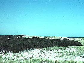 Morella pensylvanica