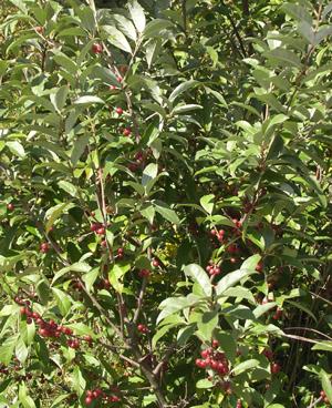 E-angustifolia
